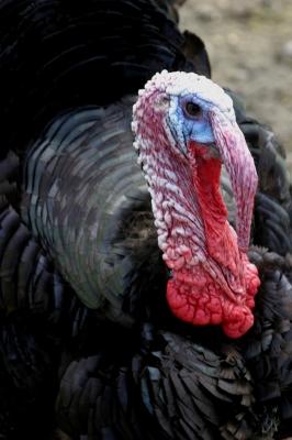 turkey-fdp