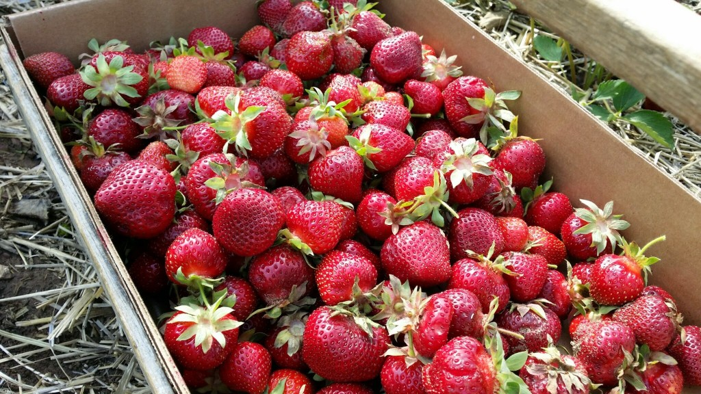 Strawberries picked at Barthels Fruit Farm