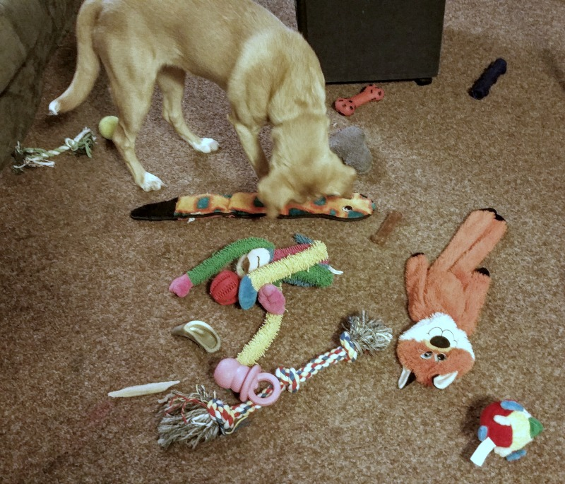 Puppies need lots of chew toys and play time. A happy dog is a tired dog.
