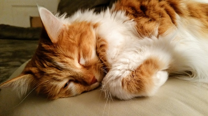 Long haired cat curled up for a catnap.