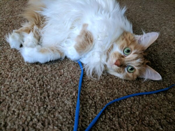 Long haired cat playing with shoelaces