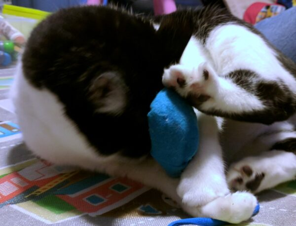 Black and white cat playing with homemade cat toy.