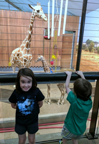Behind the scenes tour by giraffes at Como Zoo