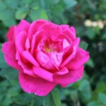 Beautiful pink rose at Rotary Botanical Gardens
