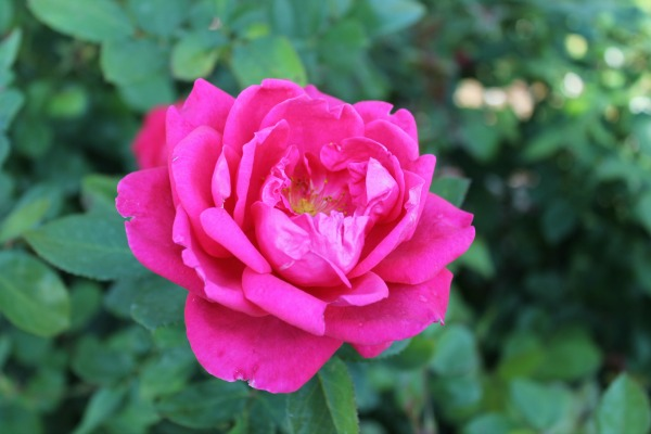 Beautiful pink rose at Rotary Botanical Gardens