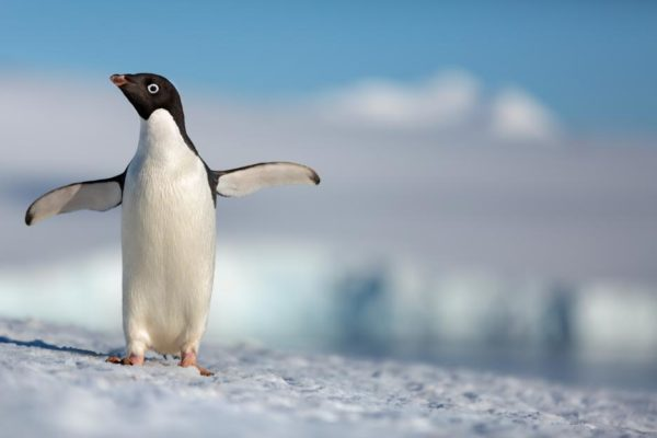 Penguin with wings outstretched from Disneynature's Penguins