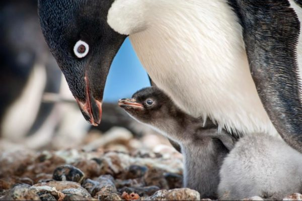 Adult penguin feeding baby penguin in Disneynature's Penguins film