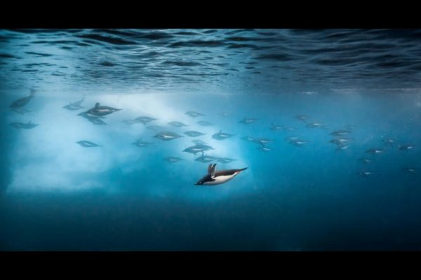 Penguins swimming under the water in Disneynature's Penguins movie
