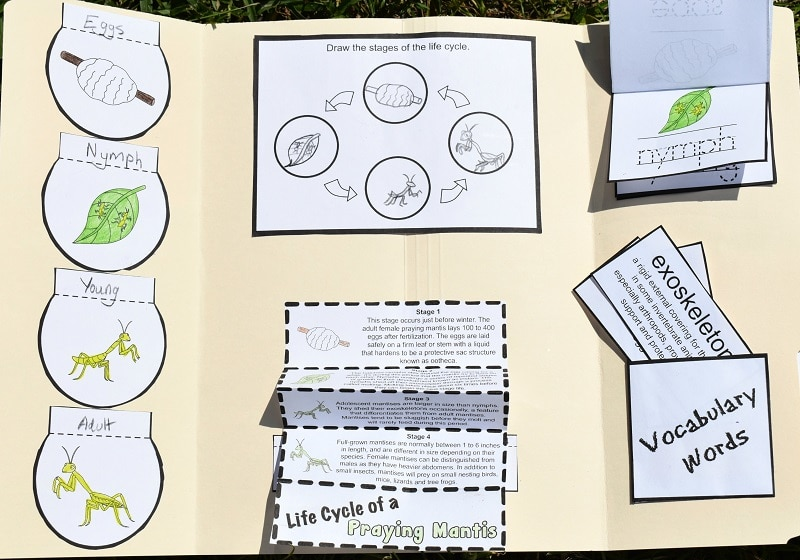Open praying mantis life cycle lapbook with the fan folded stages extended down, vocabulary words coming out of the pocket, and the upper right stages section flipped up to show the nymph stage.