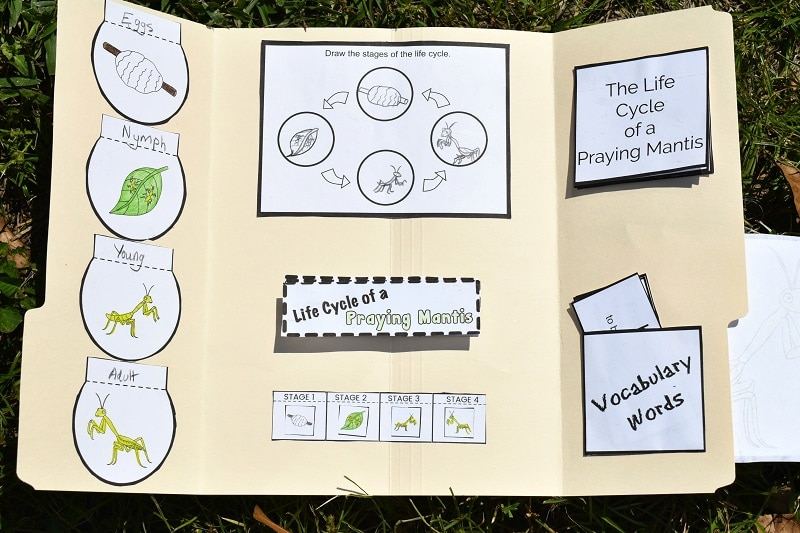 Completed praying mantis life cycle lapbook laying open in the grass showing where each printable activity is attached to the inside of the file folder.
