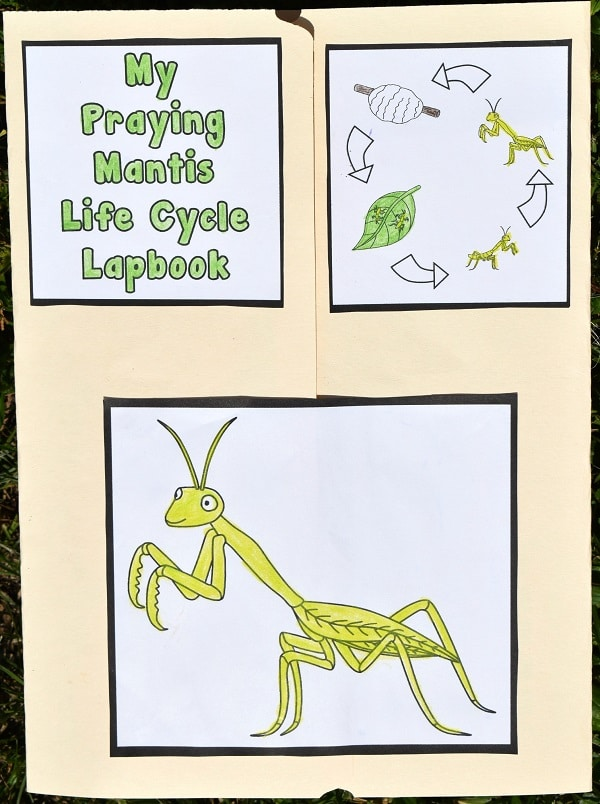 Manila file folder folded to create a lapbook. Front of it has My Praying Mantis Life Cycle Lapbook colored in and glued to top left. Top right has colored in life cycle images. Lower center has large colored in picture of a praying mantis.