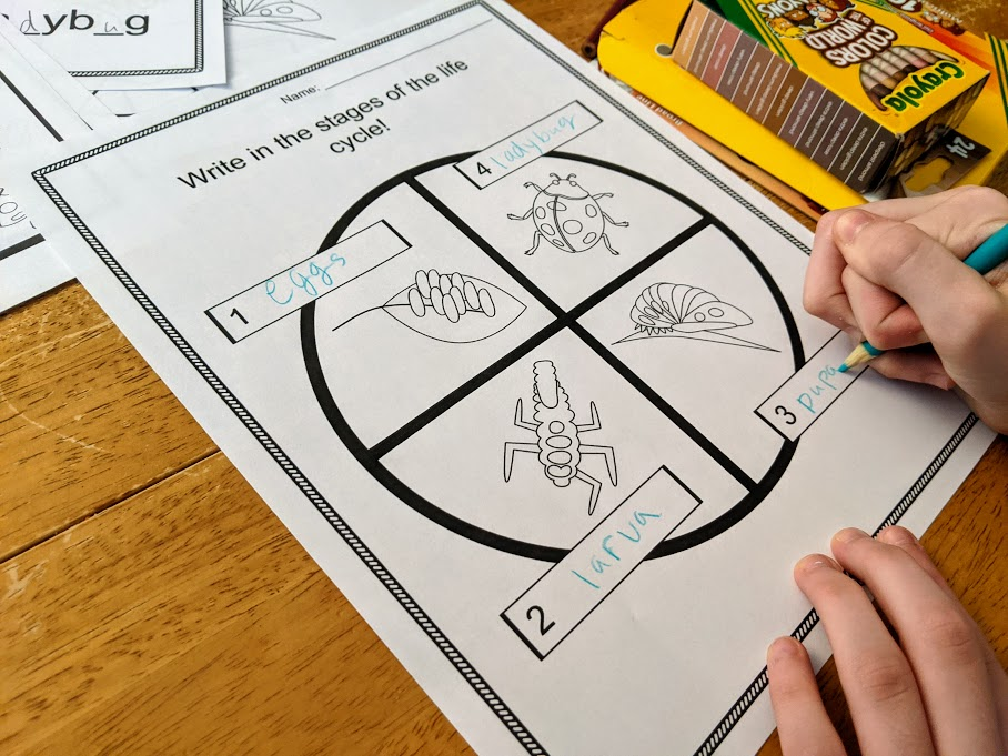 White child's hands shown holding worksheet in place while using a colored pencil to write in life cycle stages of ladybugs.