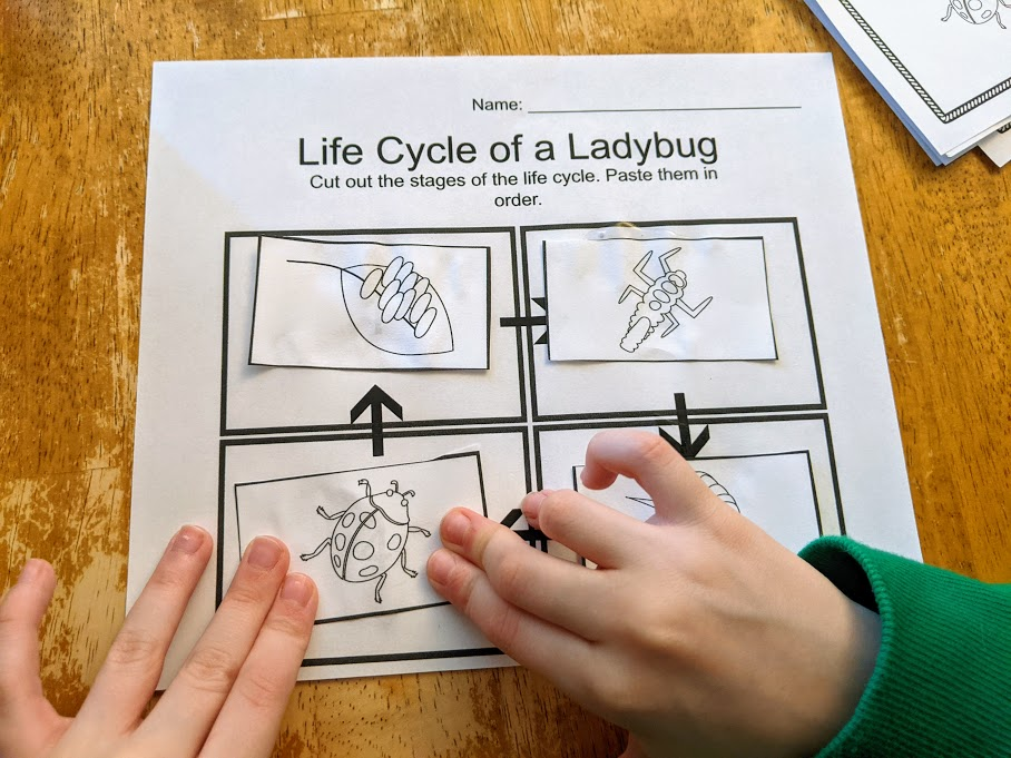White child's hands gluing ladybug life cycle stages in order on cut and paste worksheet.