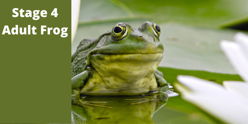 White text on dark green on left side reads Stage 4 Adult Frog next to picture of green and yellow adult frog laying on a lily pad in the water.
