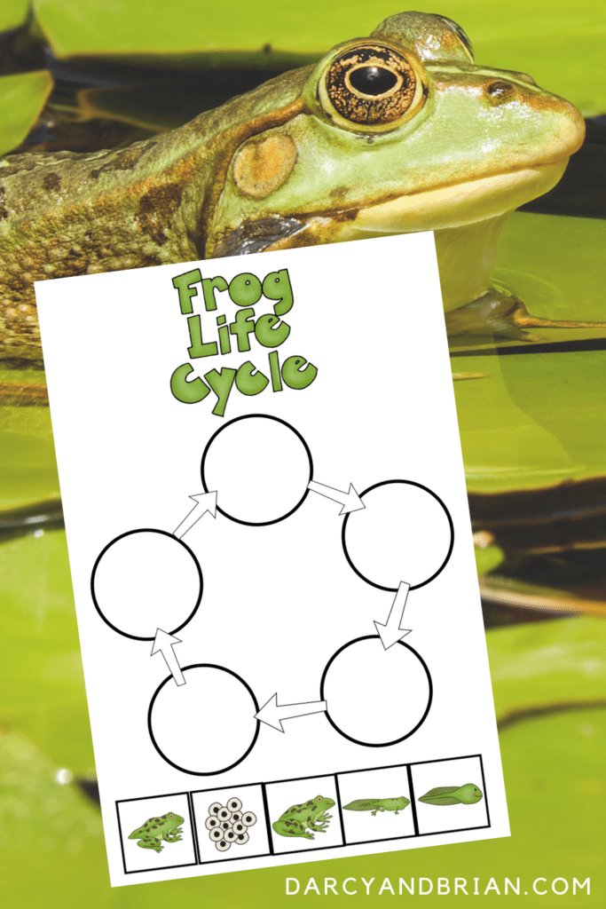 Frog life cycle worksheet printable preview with the side view of a frog on lily pads in the background.